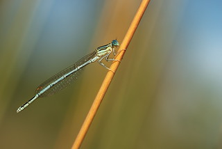 White-Legged Damselfly or Blue Featherleg, male (Platycnemis pennipes)