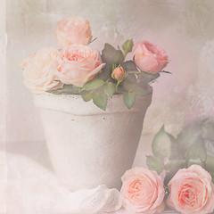 Always roses on my table. (BirgittaSjostedt) Tags: rose pot stilllace stilllife plant garden bud texture beauty beautiful rosecard card unique art fineart birgittasjostedt