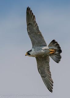 Peregrine Falcon in flight (Falco peregrinus) 'L' for large