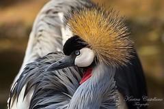 Grulla Coronada Cuellgris (kariicastellanoo) Tags: aves animales naturaleza temaiken
