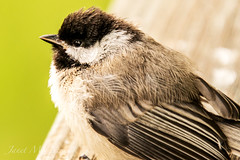 Little Chickadee (jmhutnik) Tags: bird feathers july beak details summer