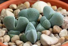 Cheiridopsis glomerata (Picture Zealot) Tags: succulent mesemb cheiridopsis glomerata seedling seed starting