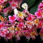 """Cincinnati - Spring Grove Cemetery & Arboretum """"Red Horse Chestnut Tree - Blooms"""