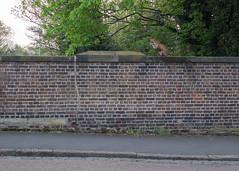 Fox! (Spannarama) Tags: fox wall perched railwaybridge pondroad trees road pavement urbanwildlife blackheath london uk bricks brickwall