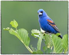 Blue Grosbeak (RKop) Tags: d500 nikkor600f4evr 14xtciii raphaelkopanphotography armlederpark cincinnati ohio wildlife
