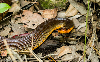 Red-bellied water snake - Brunswick Forest, North Carolina