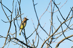 Cedar Waxwing Perching (elpeterso69) Tags: cedarwaxwing heronhaven dsc06511 fauna wildlife nature wildbirds avian fowl lake pond wetland aquatic omahane nebraska midwest iowa naturephotography bombycillacedrorum