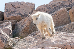 Mountain Goat kid bounds by - Sequence - 10 of 17