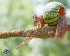 red squirrel with tail out an watermelon (Geert Weggen) Tags: agriculture animal backgrounds closeup colorimage crop cultivated cute dirt environment environmentalconservation environmentaldamage environmentalissues food freshness gardening global greenhouse growth harvesting healthyeating horizontal humor lifestyles mammal nature newlife nopeople organic outdoors photography planetspace planetearth plant pollution red rodent seed socialissues springtime squirrel summer vegetable garden watermelon tree branch geert weggen bispgården jämtland sweden ragunda