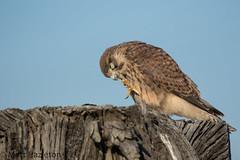 Kestrel (Matt Hazleton) Tags: kestrel falcon falcotinnunculus raptor canon canoneos7dmk2 canon100400mm eos 7dmk2 100400mm matthazleton matthazphoto wildlife nature animal outdoor bird