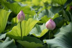 L1011292 (Camera Freak) Tags: 180716uenom10 m10 leica ueno tokyo lotus shinobazu july 2018
