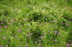 621 - Bastia au bord de la lagune (paspog) Tags: bastia corse corsica france lagune mai may 2018 fleurs flowers blumen