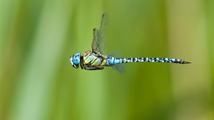 Southern Migrant Hawker(male)  -  flight shot (sparrowhawk143) Tags: dragonfly flight