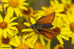 Skipper (raven fandango) Tags: hesperiini skipper large small butterfly july 2018 badgers retreat tunstall northyorkshire yorkshire north british ragwort canon countryside eos 7dmkii 100mm macro dof england english garden insects insect kingdom nature photography photo photos red orange summer uk unitedkingdom wildlife wild yellow dales