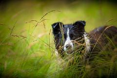 Well Regarded (JJFET) Tags: border collie dog dogs sheepdog herding