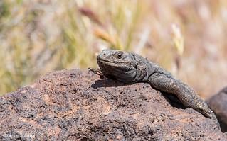 Definitely a lounge lizard