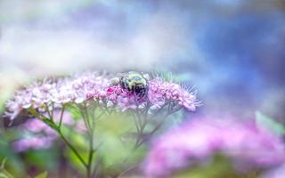Bee on Spirea HSS