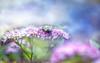 Bee on Spirea HSS (Dotsy McCurly) Tags: canoneos80d efs35mmf28macroisstm bee bug pink spirea plant flowers nature beautiful adobe lightroom photoshop topaz photoart hss happysliderssunday