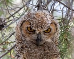 I See You! (dan.weisz) Tags: greathornedowl nest owl bird birdofprey raptor tucson nikond7200