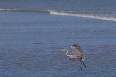 IMG_2487 (armadil) Tags: mavericks beach beaches bird birds flying californiabeaches heron greatblueheron blueheron