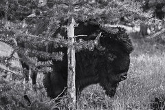 Hide And Seek. Yellowstone N.P. (June 16, 2018) (Thomas Cluderay) Tags: photography canon canon6d nature outdoors yellowstone yellowstonenationalpark nps nationalpark publiclands greatoutdoors wyoming wildlife wildlifephotography bison blackandwhite backpacking hiking camping