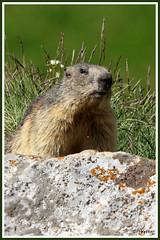 Marmotte 180619-04-PRV (paul.vetter) Tags: animal rongeur marmotte mammifère sciuridé marmotamarmota groundhog murmeltier marmota