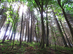 Catching the light (Claire Wroe) Tags: macclesfield cheshire tree trees green light sunlight walk walking ramblers mww hike hiking nature forest wood woodland countryside
