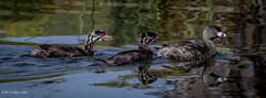 Pied-billed Grebe (C7D6236) (matxutca (cindy)) Tags: outdoors oquirrhlake southjordan utah nature piedbilledgrebe babies mom family lake swimming daybreak