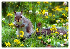 Squirrel amongst the flowers (awardphotography73) Tags: cardiff southwales colours summer grass beautiful forestfarm nature flowers wildlife squirrel squirrels