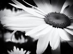 Daisy B&W (annapolis_rose) Tags: flower daisy bw