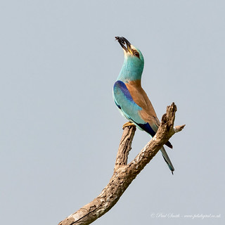 Male Roller Displaying with Beetle