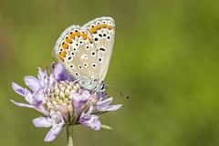 Polyommatus icarus (Jaume Bobet) Tags: polyommatus icarus lepidoptera lycaenidae mariposa insecto macro bobet canon sigma