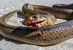 Stupid death / Muerte estúpida (www.bestphotoedition.com) Tags: serpiente culebra snake muerte death rhinechisscalaris culebradeescalera laddersnake matar kill