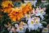 P1250591-1 - Late Afternoon - 1 (dangle earrings) Tags: flowers azalea dangleearings panasonicdmcgx8