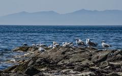 179 ~ 365 (BGDL) Tags: lightroomcc nikkor55200mmf4556g bgdl landscape no6365~2018 seascape nikond7000 seagulls birds rockstop odc