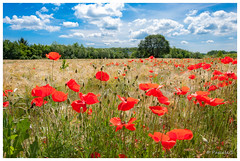 Encore quelques coquelicots (Pascale_seg) Tags: landscape paysage country countryscape countryside coquelicot poppy rouge red campagne champêtre flower verdure earth terre nature sky nuage cloud tree moselle lorraine france nikon grandest blé corn