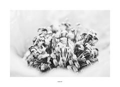Au coeur (Mamat151) Tags: coquelicot fleur rouge