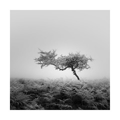 Emergence (Nick green2012) Tags: tree minimal infrared dartmoor mist square blackandwhite