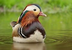 Mandarin duck (PhotoLoonie) Tags: duck mandarinduck feathers perchingduck aixgalericulata waterbird wildlife nature bird colours colorful