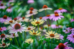 echinacea collection (kderricotte) Tags: echinacea flower plant bokeh depthoffield sony sonya7ii ilce7m2 vintagelens helios helios44m458mmf2 garden