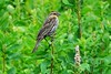 Red-winged Blackbird, Crescent Lake, Snohomish County, WA 7/6/18 (LJHankandKaren) Tags: blackbird redwingedblackbird crescentlake