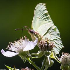 Brimstone and Bramble Flower (PedroLanders) Tags: nectar flower butterfly berealston denhamwoods