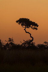 Botswana Sky (mclcbooks) Tags: tree silhouette sunset sundown dusk sky okavangodelta moremigamereserve moremicrossing safari africa botswana
