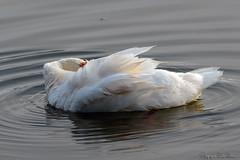 Toilette du cygne_7353 (lucbarre) Tags: swan cygne lac uby cazaubon gers france oiseau oiseaux étang étangs lacs eau plume plumes