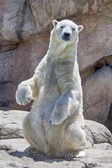 Nikita the Buddha bear (ucumari photography) Tags: ucumariphotography polarbear ursusmaritimus oso bear animal mammal nc north carolina zoo osopolar ourspolaire oursblanc eisbär ísbjörn orsopolare полярныймедведь nikita july 2018 dsc2280 specanimal
