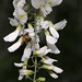 Bee on robinia