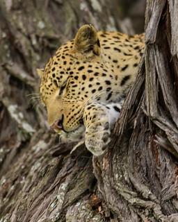 LEOPARD CAT NAP