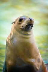 Anglų lietuvių žodynas. Žodis zalophus californianus reiškia <li>zalophus californianus</li> lietuviškai.