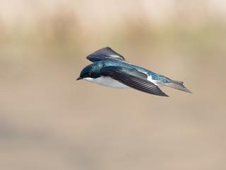 Swallow, Tree