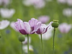 P7040022 (turbok) Tags: mohn pflanze zierpflanzen c kurt krimberger
